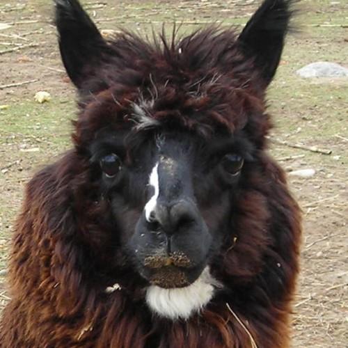 Hello from Alan the Alpaca.