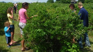Blueberry picking is fun for the whole family.